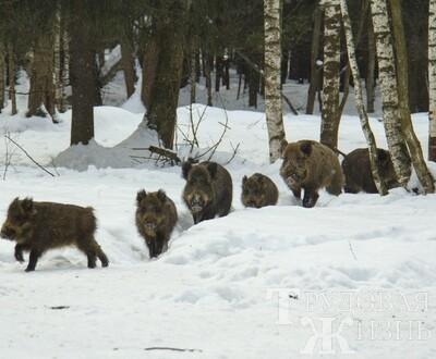 В  Самарской  области  уничтожено  700  голов  свиней